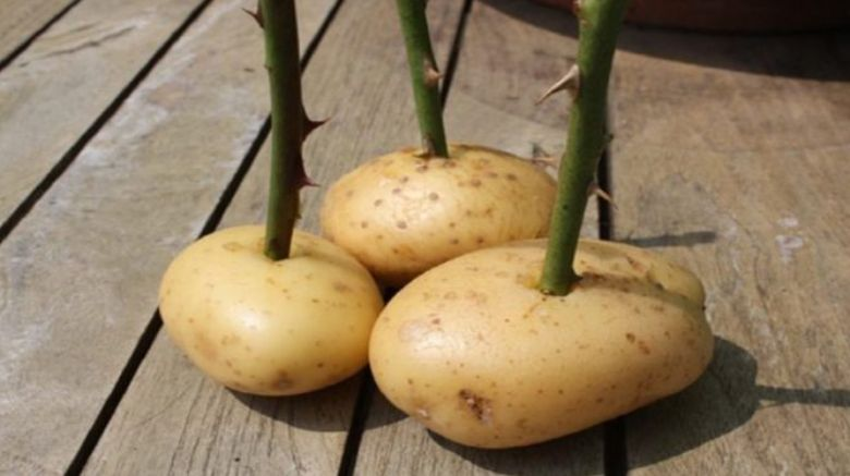 She sticks a rose stalk into a potato and look what happens a week later! Amazing!